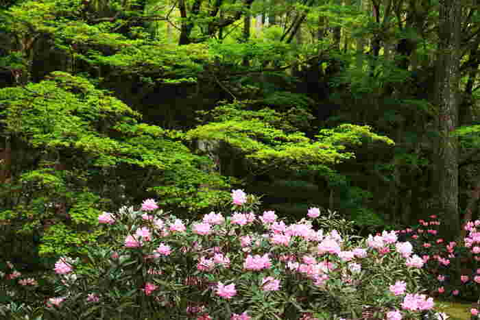 三千院は、古くは仏教修行者や貴族が隠居の地として愛した京都市左京区北部の大原地区にある天台宗の寺院です。三千院の歴史は古く、天台宗の開祖者、最澄によって8世紀に創建されました。