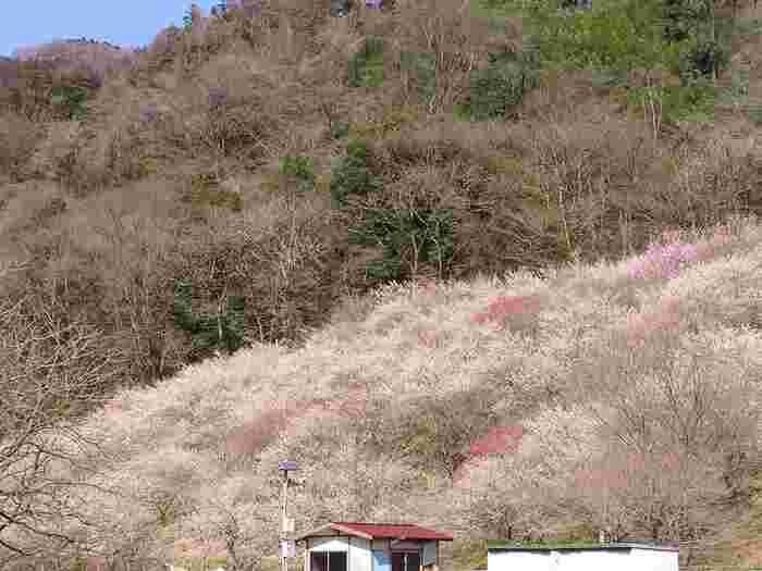 関所梅林、天神梅林、湯の花梅林、するさし梅林、木下沢梅林、遊歩道梅林と点在する梅林を一つ一つ散策するのも良さそうです。こちらは木下沢梅林。ピンクの絨毯のようで綺麗ですね。