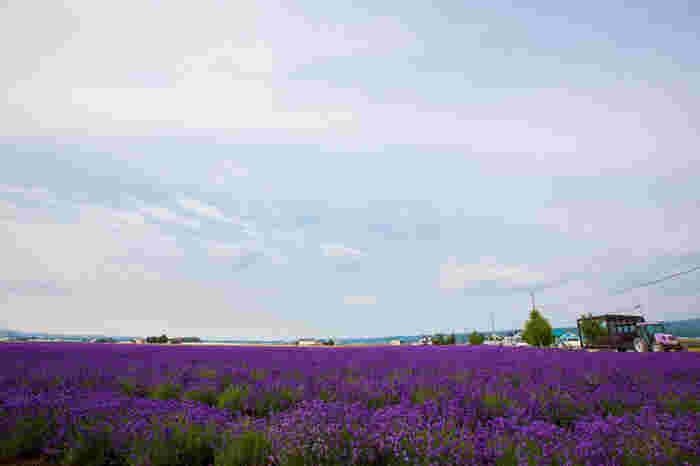 満開に咲き誇るラベンダー畑は、まるで大地に敷き詰めた紫色の絨毯のようです。