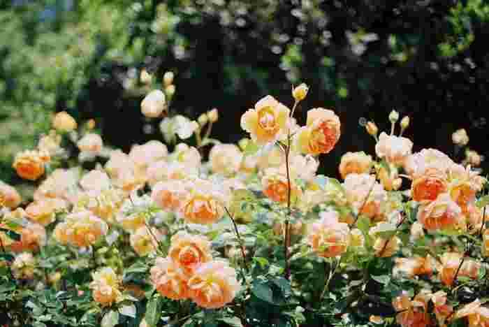 園内には、オールドローズやイングリッシュローズ・つるバラなど約600種1000株のバラが咲き乱れるローズガーデンも。訪れる人を優雅で穏やかな気分にしてくれます。