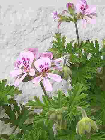 蚊連草は日当たりがよく、水はけのいい環境が◎暑さにも強いので、夏の日差しが当たる場所でも元気に育ちます。しかし寒さには弱いため冬は室内に入れてあげましょう。花がらや枯れた葉はこまめに摘み取っておくと、新芽が育って虫除け成分も出てきます。