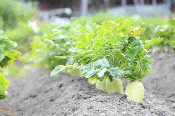 使い勝手の良いおいしい大根を作るには「大根十耕」を意識して!土はしっかりと深く耕すことがポイントになってきます。植える場所に深さが足りない場合は、バケツは麻袋を使う手も。収穫までは約2ヶ月、水はけは良くしつつ乾燥させないよう育てましょう。