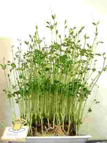 中華食材の「豆苗」は、もとは大きく成長したえんどうの枝や葉先。今では発芽させた若菜が豆苗として出回っています。シャキシャキした食感とほのかな豆の甘みを楽しめますよ。