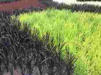 田んぼアートのデザインは、稲の葉の色の違いを利用して描かれています。毎年デザインが変わるので、毎年足を運ぶ方も多いそうですよ。