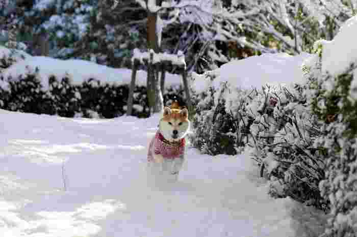 お外が大好き!雪の中でも、元気に走り回ります。寒さなんてへっちゃら♪
