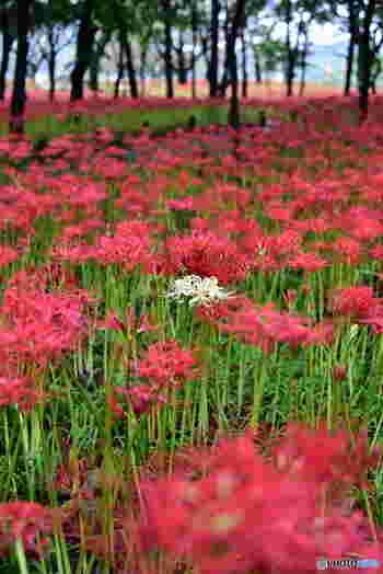バラの深紅ともまた違う本当の「赤」に会えます。時々真っ赤の中にすっくとたたずむ白い曼珠沙華。