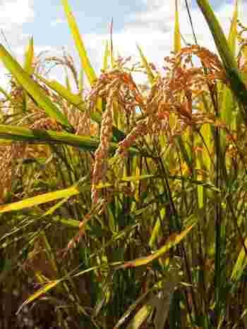 もともと良質な成分が多いことで知られている玄米。酵素玄米は糠に含まれる酵素を寝かせることで、酵素を増やすことができます。その酵素が増えることで、健康や美容にも良い効果をもたらしてくれると言われています。