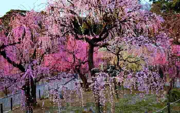 境内に植えられた約300本の枝垂梅が、見頃を迎える時期になると、結城神社境内は、春そのものが舞い降りたかのような景色になります。