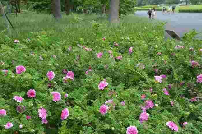 """「富士見多聞櫓」と「本丸芝生園」の間に位置するのは、平成天皇陛下の御立案で整備された「バラ園」です。 【5月下旬の「バラ園」(手前)と「本丸芝生園」(奥)。画像のバラは、花の一部が欠けて見える様子が""""十六夜の月""""に似ていることから名付けられた「イザヨイバラ」】"""