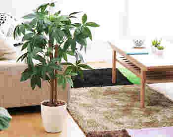 ある程度の寒さ(5度以上)にも耐えられる観葉植物。 乾燥にも強いので、水やりは土が乾いたタイミングで大丈夫です。  根を大きくはらないので、自由な大きさで楽しめるのも魅力。