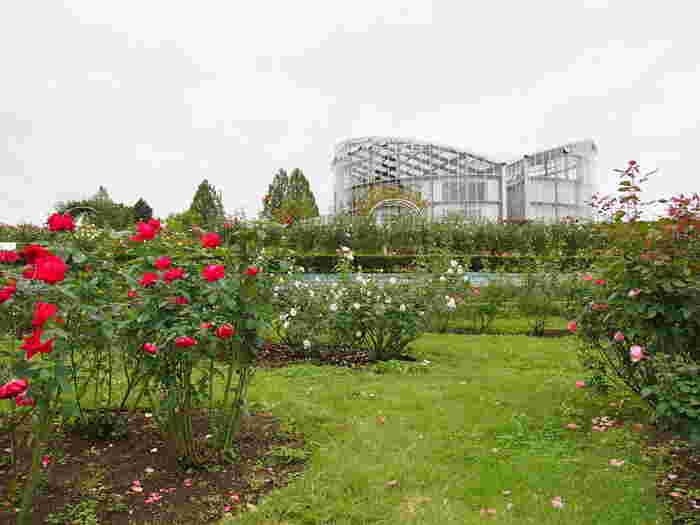 つるバラを2品種一緒にトレリスに絡ませて。こんな風にバラ栽培のヒントがたくさん隠されています。  茨城フラワーパークの世界のバラ園は敷地内に750品種、なんと30,000株のバラが咲き乱れています。バラのほかにも季節ごとの花が楽しめておすすめです。
