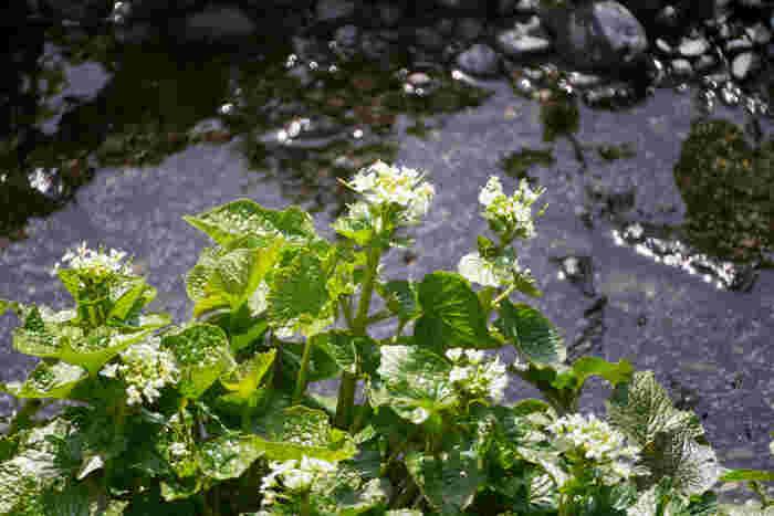 広大なわさび田を潤わせているのは、北アルプスからの豊かな湧水。冷たく清らかな湧水はわさびを美味しく育ててくれます。