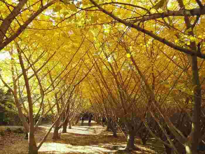 昭和53年から、園主の中馬吉昭さんが奥様と一緒に、荒れた土地に少しずついちょうを植えてつくりあげた「垂水千本イチョウ園」。4.5ヘクタールという広大な敷地に、約1,200本のいちょうが植えられています。