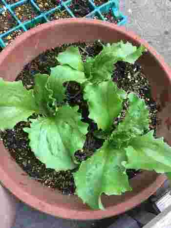 ・植え終わったら、水をプランターの底から流れ出るくらいたっぷりと与え、日当たりの良い場所に置いてあげましょう。 ・その後は、土の表面が乾いた時に、たっぷりと水をあげて下さい。