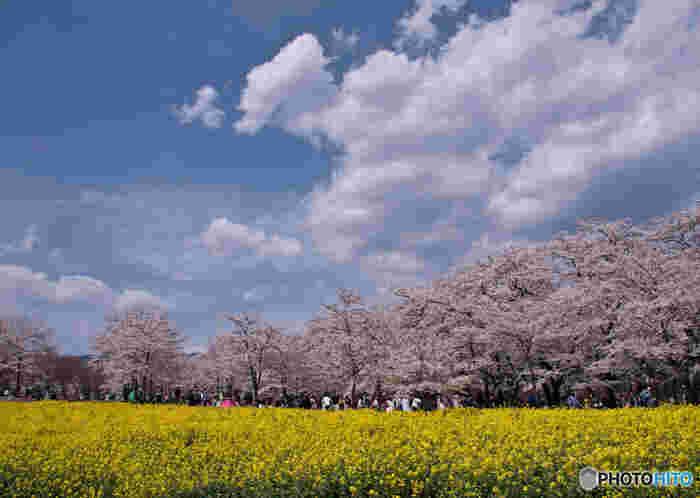 赤城山の南面に咲き誇る千本桜。2kmにわたって道の両側に咲き誇っています。時期が合えば隣接する「みやぎ千本桜の森公園」の芝桜とのコラボレーションも楽しめます。青い空とソメイヨシノの淡い桃色、芝桜のピンクノカーペットは記憶に残る美しさです。空気も綺麗なのでお弁当を持ってピクニック気分で行ってみたいですね。