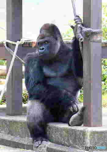 上野動物園に次ぐ人気動物園の「東山動植物園」。約60ヘクタールの広大な敷地に約550種が飼育され、植物園、遊園地、東山スカイタワーが併設されており、見所満載です。 写真はイケメンゴリラとしてヒトの女性からも大人気の「シャバーニ」。
