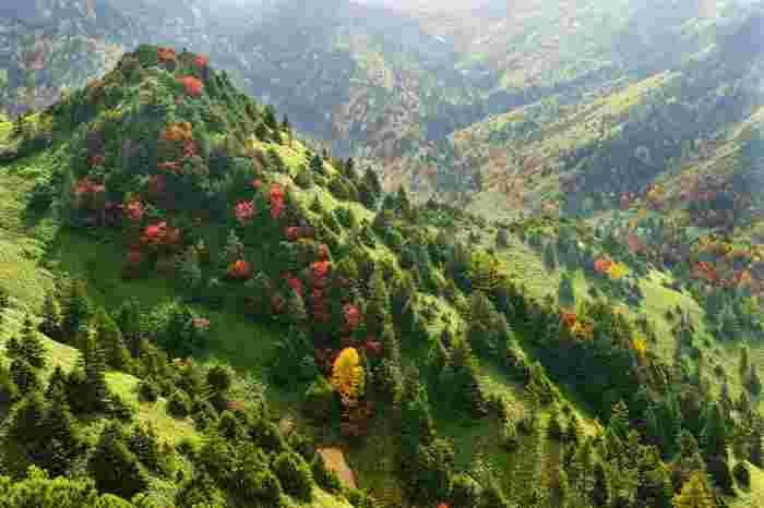 志賀高原の紅葉は9月下旬に始まり、10月上旬に最盛期を迎えます。淡い緑のじゅうたんのように見えるのは熊笹♪