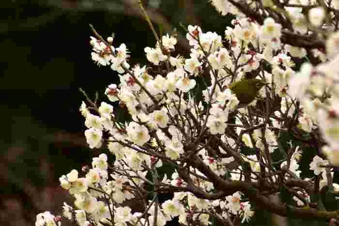 梅林では、メジロの姿を見かけることもできます。愛らしい小鳥、メジロと一緒に美しい梅の花を鑑賞するのは、きっと素敵なひとときとなることでしょう。