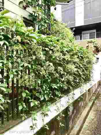 おうちの柵にツル性の植物を這わせて、フェンス代わりにグリーンで目隠しする手も。こちらは「ヘンリーヅタ」という植物です。おうちの顔にもなるので、お気に入りの品種を選んでくださいね。