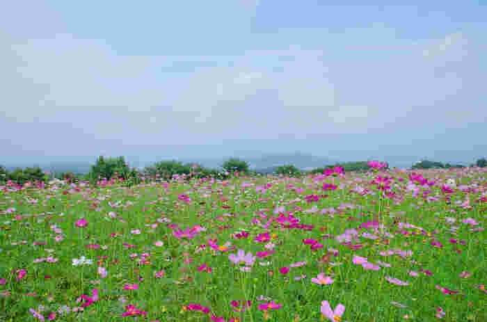 コスモスは、約40万本植栽されており、9月中旬から10月中旬にかけて競うように花を咲かせます。コスモスが見頃を迎える時季には「コスモス祭り」も開催されるので、楽しいひとときを過ごしてみてはいかがでしょうか。