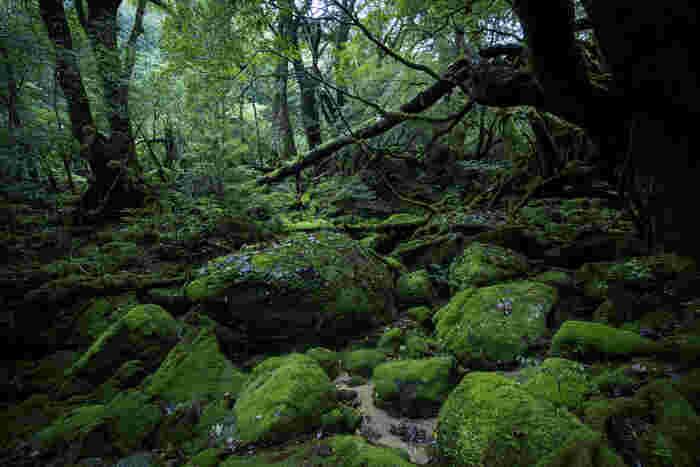 世界遺産にも指定された、太古の自然が息づく緑の島。亜熱帯植物から高山植物まで多様な植物で覆われています。