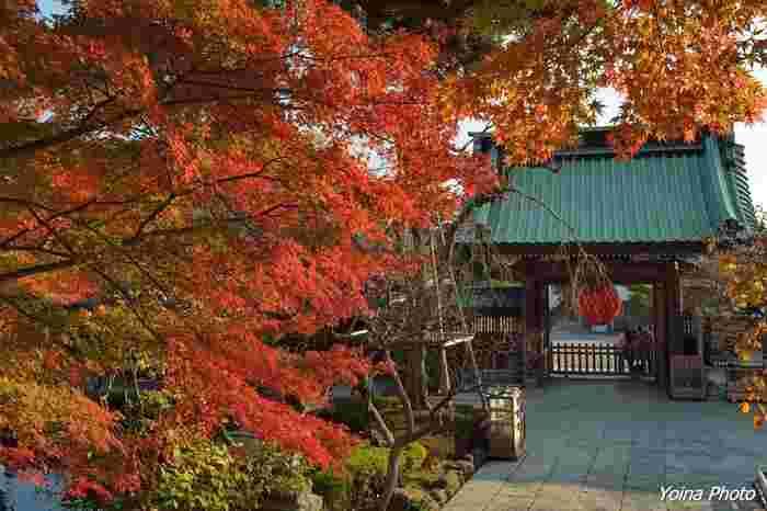 最後にご紹介するのは、江ノ電「長谷駅」より徒歩5分のところにある鎌倉の名所「長谷寺」。10月にはツワブキ、小福桜、11月にはざる菊、山茶花などが咲き誇ります。