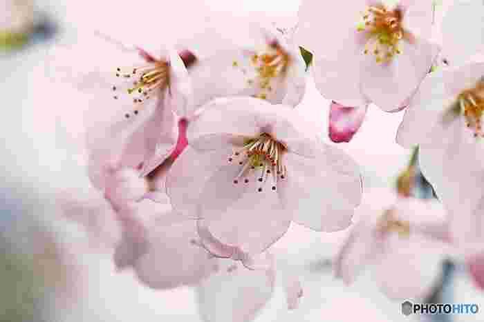 日本では春の花の代名詞とされる桜。美しく気品にあふれる桜の花言葉は「あなたの微笑み」「心の美しさ」「潔白」「優美な女性」。また、種類別ではソメイヨシノの花言葉が「純潔」、八重桜は「豊かな教養」「善良な教育」「しとやか」、山桜 は「あなたに微笑む」「純潔」「高尚」「淡白」となっています。