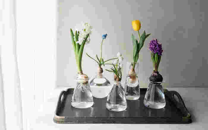 球根類を水栽培するための器も、専用のかわいい器が売られています。ハーブや観葉植物の場合には、お気に入りのガラス瓶やリキュールグラスなどを使ってみるのも、インテリアとして楽しめるのでおすすめですよ。