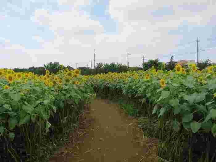 ひまわりの小径を歩けば、気分は夏そのもの。日差しだけでなく地熱も熱いので、熱中症対策はお忘れなく。