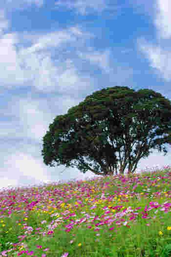 毎年9月下旬から10月下旬にかけて、約1ヘクタールに及ぶ「花の大斜面」は濃淡ピンク、白色のコスモスが花を咲かせます。抜けるような秋の青空の下で、風が吹くたびにゆらゆらと揺れ動くコスモスは可憐で、ただ眺めているだけでも不思議と心が癒されてきます。
