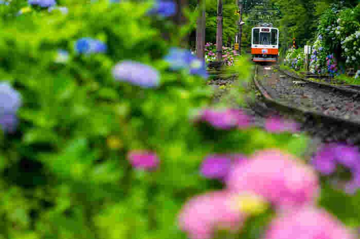 それぞれのエリアへは、箱根の玄関口である「箱根湯本駅」や「小田原駅」から電車やバスが通じ、箱根中央部では、ロープウェイやケーブルカー、遊覧船も移動手段として活用できます。  【箱根の山を上る「箱根登山鉄道」「箱根ケーブルカー」沿線は、梅雨から夏にかけてアジサイで彩られ、この時期の登山鉄道は、「あじさい電車」と呼ばれ親しまれている。開花時期は標高毎に異なるため、箱根では、例年6月中旬頃から7月下旬頃にかけて長く花を楽しむことが出来る。】