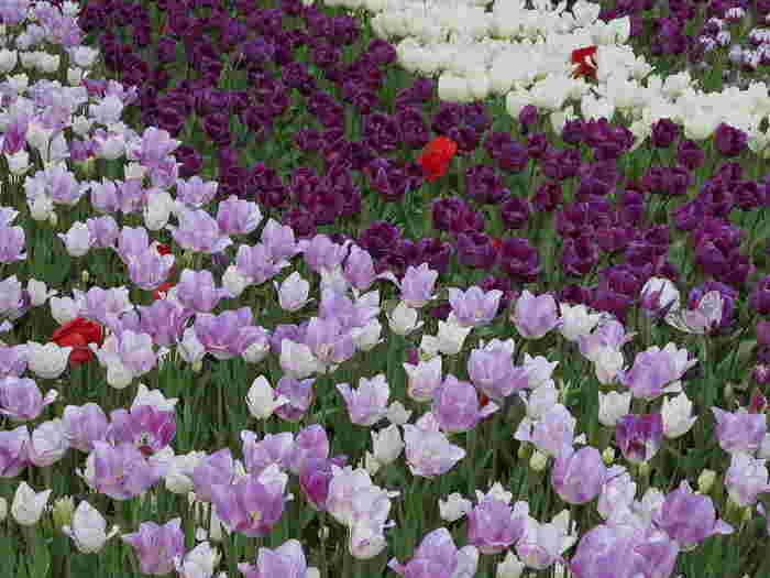 日比谷公園では、様々な品種のチューリップが開花します。童謡にもなっている「赤・白・黄色」のほかに、紫色、薄紫色をしたチューリップが並んでおり、まるで大地にグラデーションを敷き詰めたような景色を楽しむことができます。