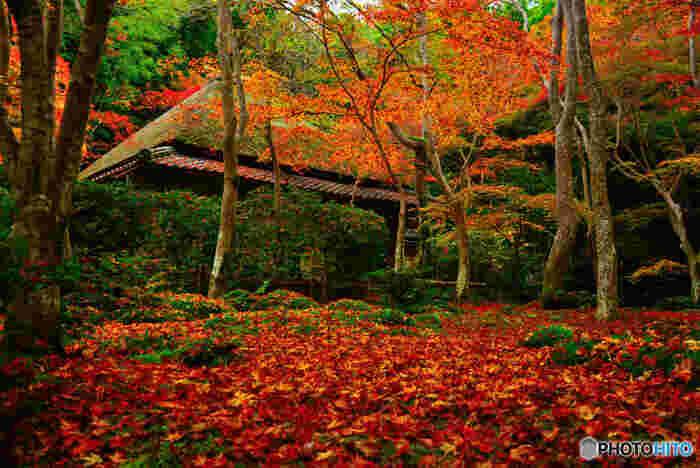 新緑の苔の季節が美しいことで有名な祇王寺ですが、秋の紅葉シーズンの美しさも必見です。境内いっぱいに敷かれた青苔の上には、散り紅葉が折り重なるように積もり、まるで紅葉の絨毯を敷き詰めたかのような素晴らしい景色を臨むことができます。