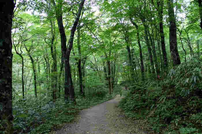 白神山地の代名詞ともいえるブナの原生林は、人為的な影響をほとんど受けていません。それゆえに、森林浴スポットとしても人気があり、整備された散策路を歩いていると、まるで緑のトンネルの中を歩いているような錯覚を感じます。