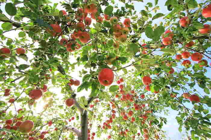 りんごの品種が「サン○○」や「葉取らず」という名前になっている物があります。これは袋掛けしないで日光に当てながら育てたりんごの事です。日光に長く当たる分、より糖度が高く育ちます。
