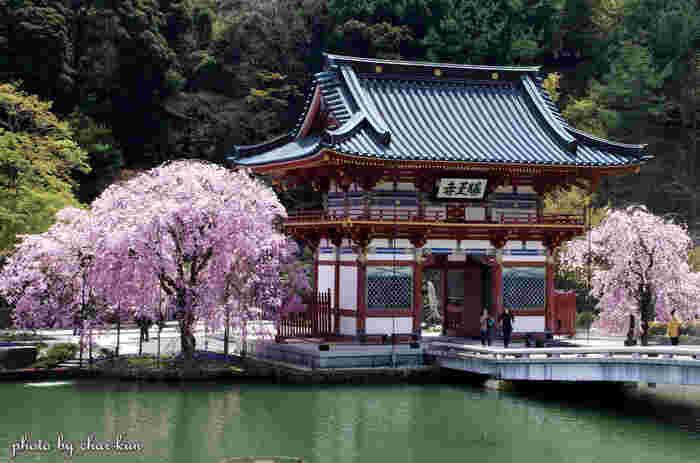 様々な種類の桜鑑賞を楽しむことができる勝尾寺ですが、山門近くにある枝垂れ桜は必見です。朱色をした山門、淡ピンク色の枝垂れ桜、背景の常緑樹が見事に融和した風景は、一枚の日本画のような素晴らしさです。