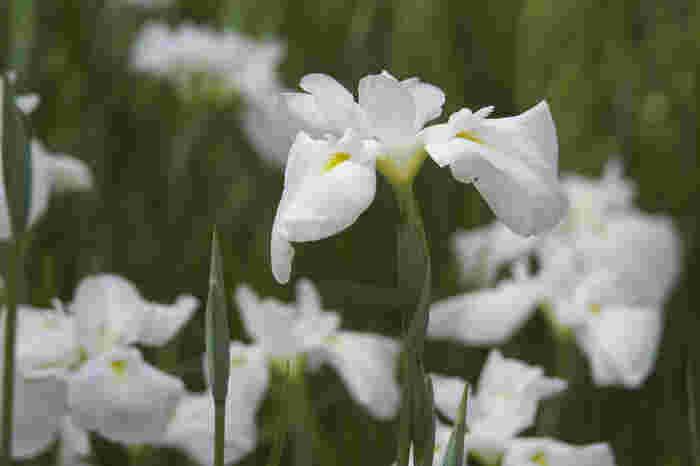 毎年梅雨の時期になると園内の花菖蒲が次々と開花し、訪れる人々を魅了してくれます。