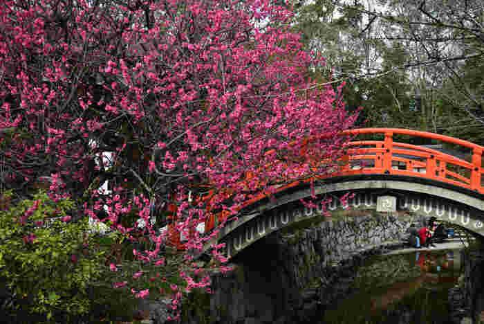 下鴨神社では、境内を流れる御手洗川に架かる反橋に紅梅が美しく開花しています。この風景は、江戸時代に活躍した絵師、尾形光琳が描いた国宝「紅白梅図屏風」のモデルとも伝えられています。