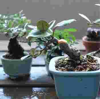 水やりは土の表面が乾いたときにあげるのがベスト。ただ、盆栽の種類や気温によって異なるので、よく観察してあげることが大切です。季節によっても違うので、暑い夏には1日2回水を与えましょう。