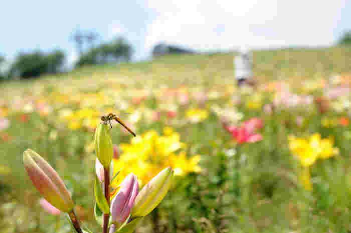 ユリやニッコウキスゲなど、夏になると約200種類もの山野草が咲き誇ります。パノラマリフトの隣にあるフラワーリフトに乗ると、真下に花々を見ることも可能。散策路もあるので、のんびり歩くのも気持ちが良いですよ。