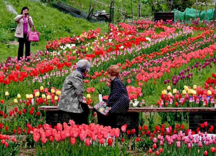 米原市の山間部に位置する自然豊かな里山地区、上丹生(かみにゅう)にはチューリップ畑があります。赤、ピンク、黄色、白、紫と色とりどりのチューリップが満開の花を咲かせる様子は壮観です。ここでは、毎年春になると上丹生チューリップ祭りが開催され、大勢の鑑賞者で賑わいます。
