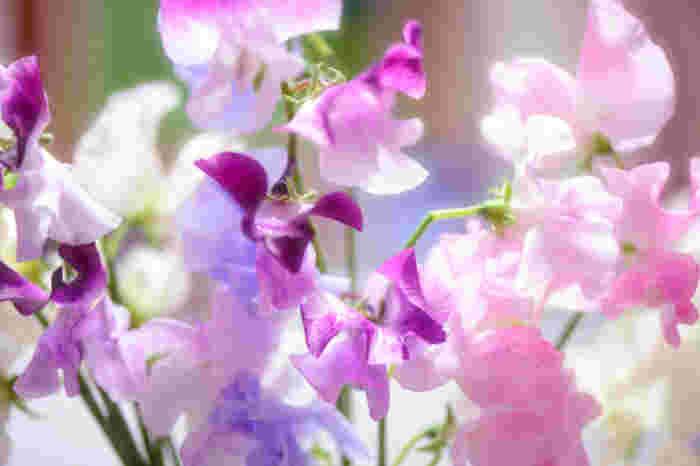 「門出」「別離」「優しい思い出」などの花言葉を持つスイートピーは、新しいスタートを切る人への贈り物にぴったり。色別ではピンクの花言葉が「繊細」「優美」、白は「ほのかな喜び」、紫は「永遠の喜び」です。どの色も良い意味なので、何色か組み合わせてアレンジするのもいいですね。