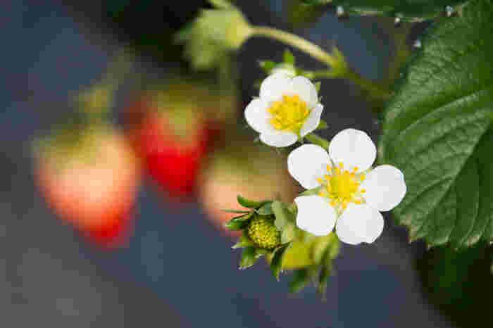 植え付け後1か月経った頃と春先の2回、追肥するとよいそうです。地域によっても違いますが、4月以降暖かくなった頃に開花し、開花後およそ1か月くらいで収穫できます。