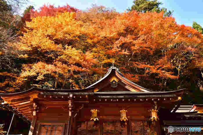 貴船神社境内では、モミジのほか、桜、楓など様々な鬱蒼と落葉樹が生い茂っています。本殿の背後には、朱色、黄色、紅色に染まった樹々が彩り、貴船神社境内の荘厳で静謐な雰囲気を引き立てています。