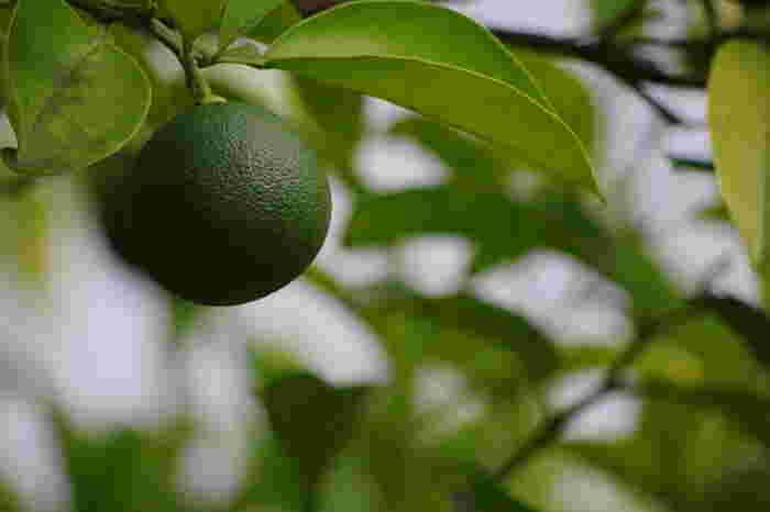 """瀬戸内海に面した広島県は、温暖で雨の少ない気候。もともと柑橘系の栽培は盛んですが、中でも瀬戸田町は""""レモンアイランド""""と呼ばれるほどレモンの栽培が盛んなところです。"""