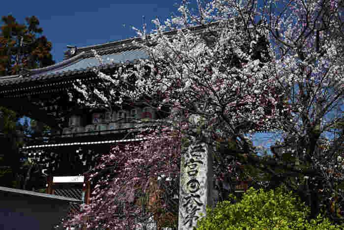 京都市街地から少し離れた場所に鎮座している梅宮大社は、その名前の通り、境内いっぱいに梅の木が植樹されている神社です。