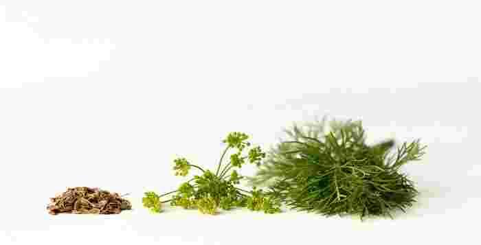 とは言え、フェンネルは多年草なのに比べてディルは一年草。育ててみると違いがはっきりしますが、同じセリ科で交雑してしまうので、両方を育てる場合には離れた場所に植える様にしましょう。ディルもハーブとしてどの部分も食べられるので、間違えてお料理に使っても心配する必要はなさそうですね。