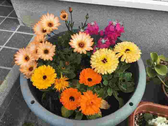 食べられる花、カレンデュラ(キンセンカ)もおススメです。黄色やオレンジ色がかわいらしく、サラダなどに散らすと食卓がぱっと明るくなります。また花びらを加えてご飯を炊くと、黄色く染まり、サフランライスのようになりますよ。