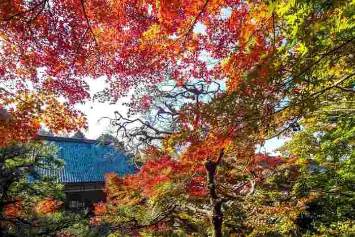 広大な敷地面積を誇る百済寺境内は国の史跡に指定されており、毎年晩秋になると、寺院そのものが錦を纏ったかのような素晴らしい景色となります。また、百済寺は戦国時代に来日した宣教師ルイス・フロイスは、百済寺を「地上の天国」と称したと伝えられています。