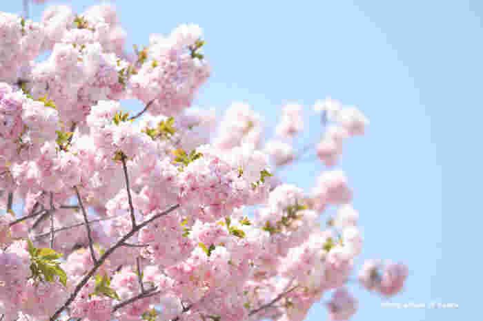 新宿御苑で植樹されている桜の種類は多く、約65種類におよびます。ここでは、一つの花にたくさんの花びらを付ける可愛らしい八重桜を観ることもできます。